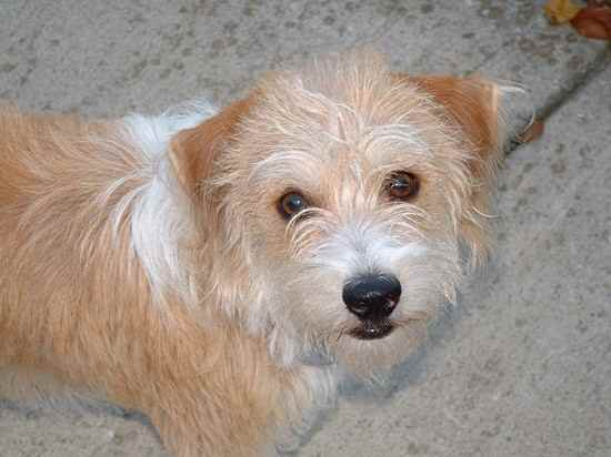 Beagle and a poodle mix