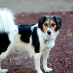Beagle and border collie mix