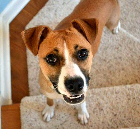 Beagle and a Boxer Mix (Boggle) - Common Information