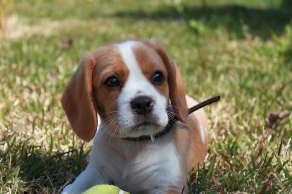 Beagle and cavalier king charles spaniel mix