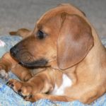 Beagle and Dachshund mix puppies for sale