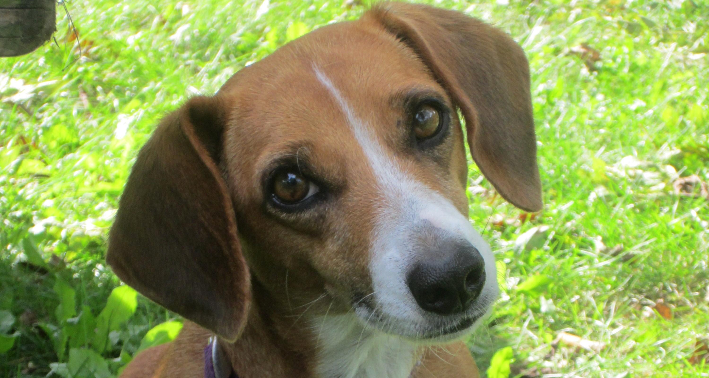 Beagle and Dachshund mix