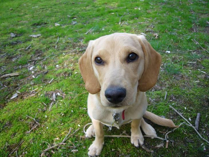 Beagle and labrador mix