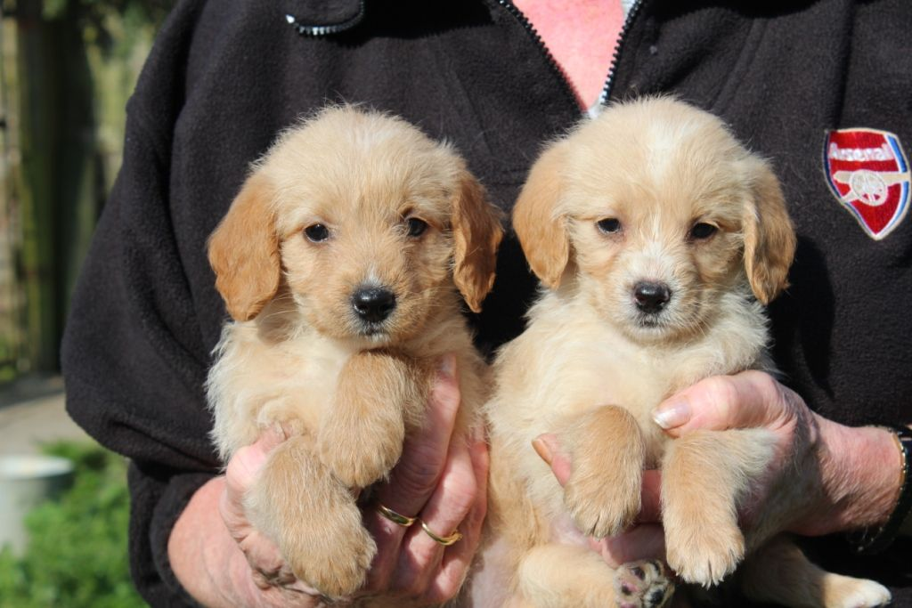 Beagle and poodle mix puppies