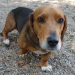 Beagle basset dachshund mix