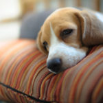 Beagle bladder cancer symptoms