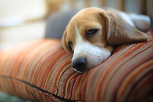 Beagle bladder cancer symptoms