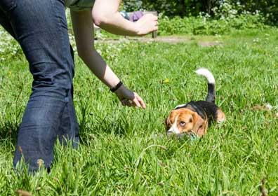Beagle blood in diarrhea