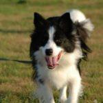 Beagle border collie mix behavior