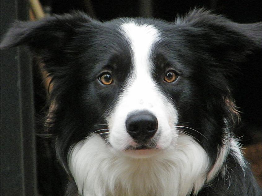 Beagle border collie mix info
