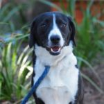 Beagle border collie mix information