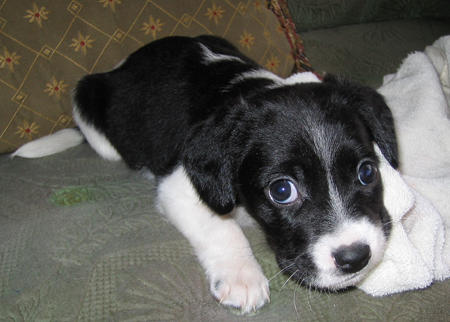 Beagle border collie mix puppies for sale