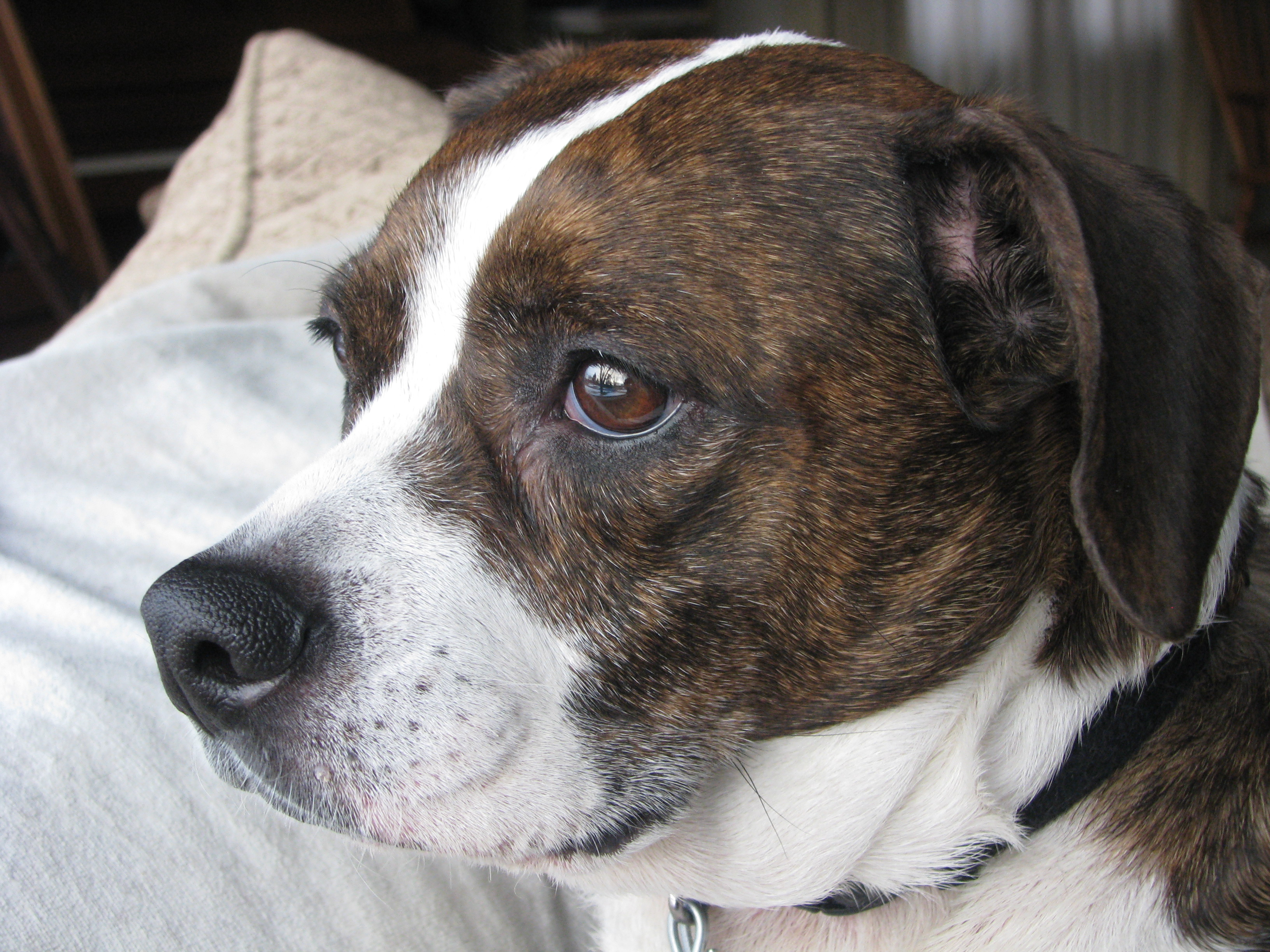 Beagle boston terrier mix facts