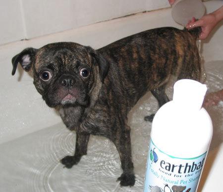 Beagle boston terrier Pug mix