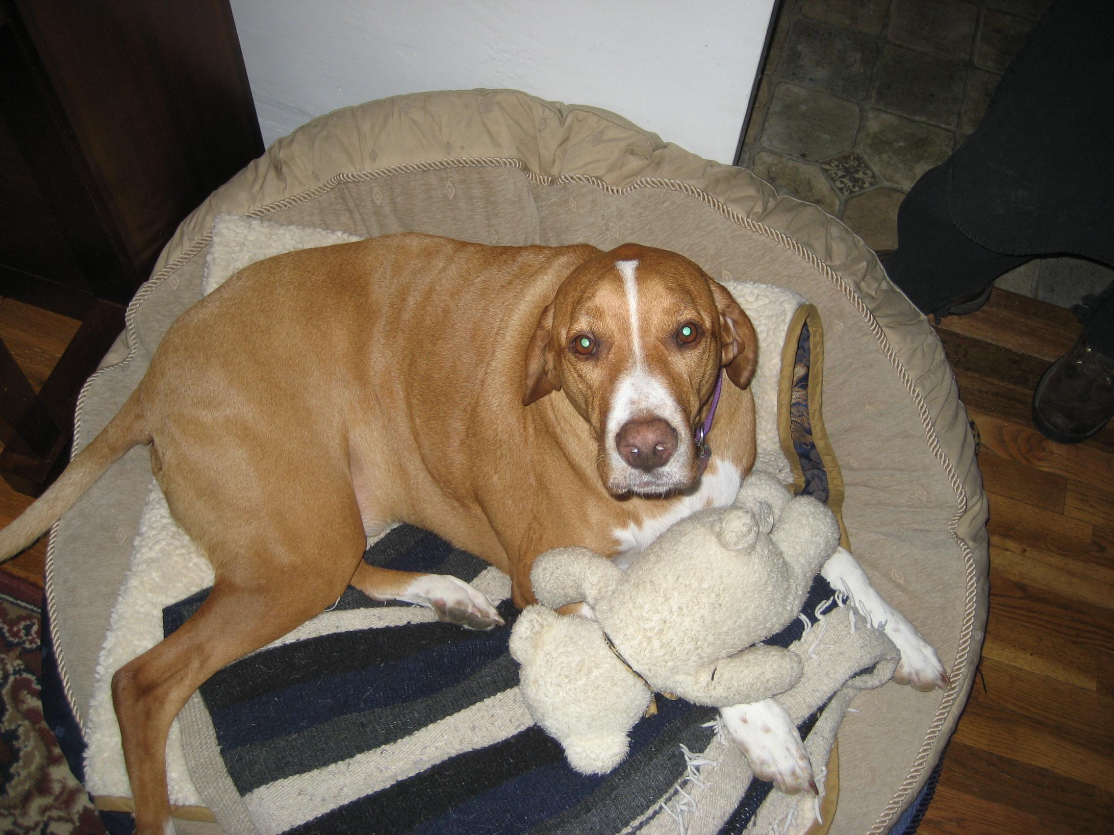 Beagle boxer mix behavior