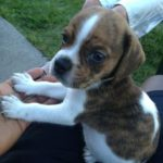 Beagle boxer mix for sale