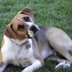 Beagle boxer mix info