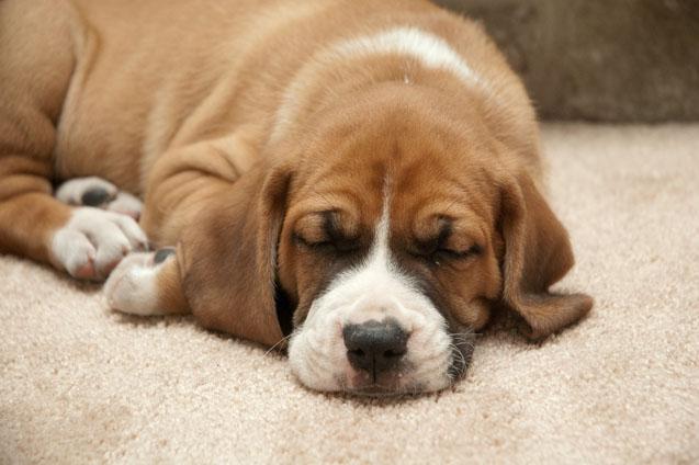 Beagle boxer mix lifespan