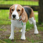 Beagle boy puppy names