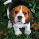 Beagle buddy potty