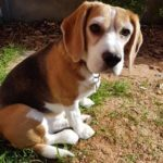 Beagle buddy potty reviews