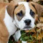 Beagle bulldog mix facts
