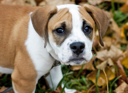 Beagle bulldog mix facts