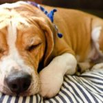 Beagle bulldog mix for adoption