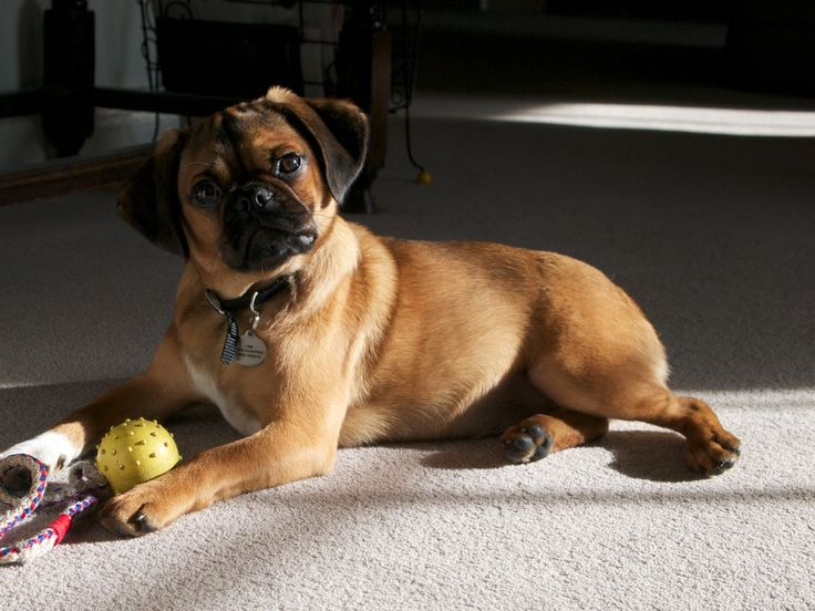 Beagle Cavalier Pug Mix