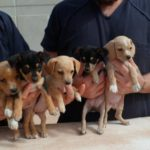 Beagle chihuahua mix puppies pictures