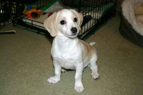 Beagle chihuahua mix size