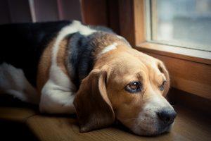 Beagle chronic diarrhea