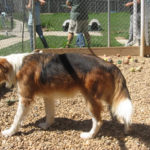 Beagle Collie Mix Dog