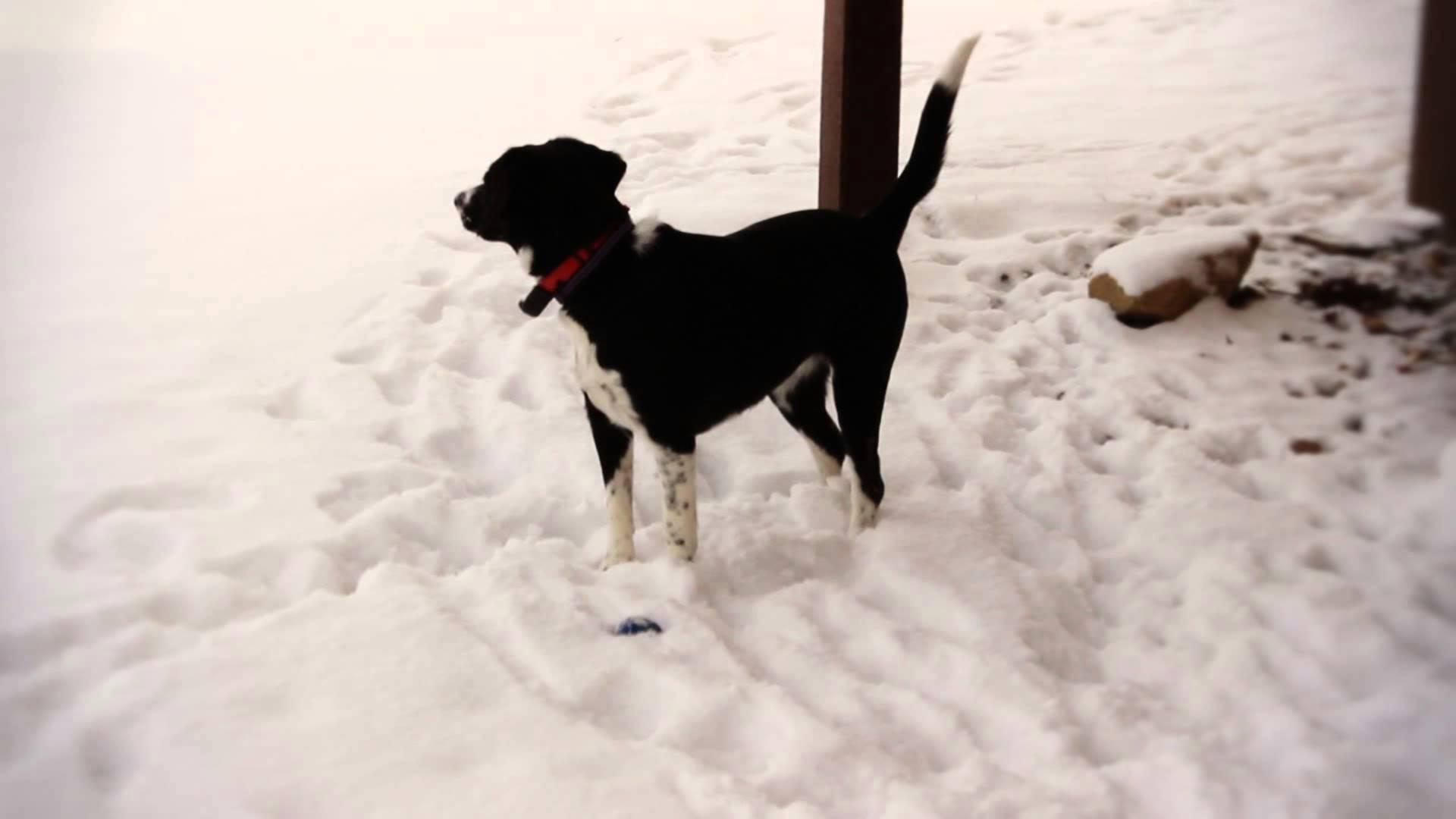 Beagle collie mix pictures