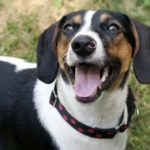 Beagle dachshund dog mix