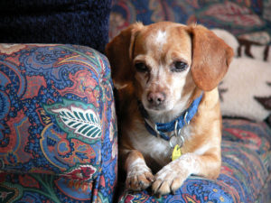 Beagle dachshund mix adoption