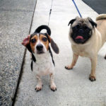 Beagle dachshund Mix Breeders