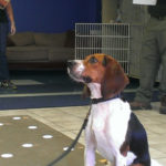 Beagle determines pregnancy with poo