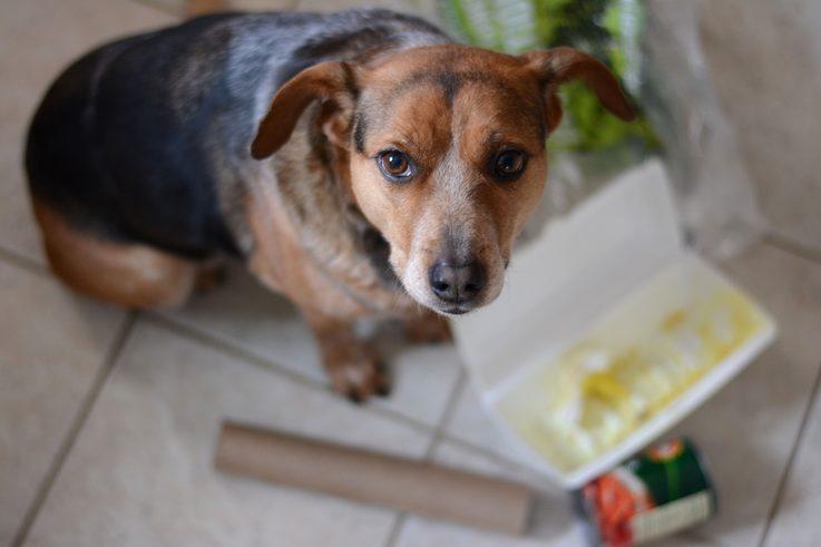 Beagle diarrhea and vomiting