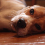 Beagle dog limping