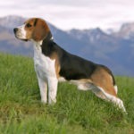 Beagle dog male names