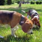 Beagle dog potty training