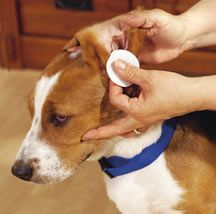 Beagle ear cleaning tips