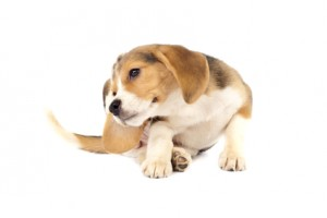 Beagle ear infection symptoms