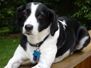 beagle springer spaniel mix