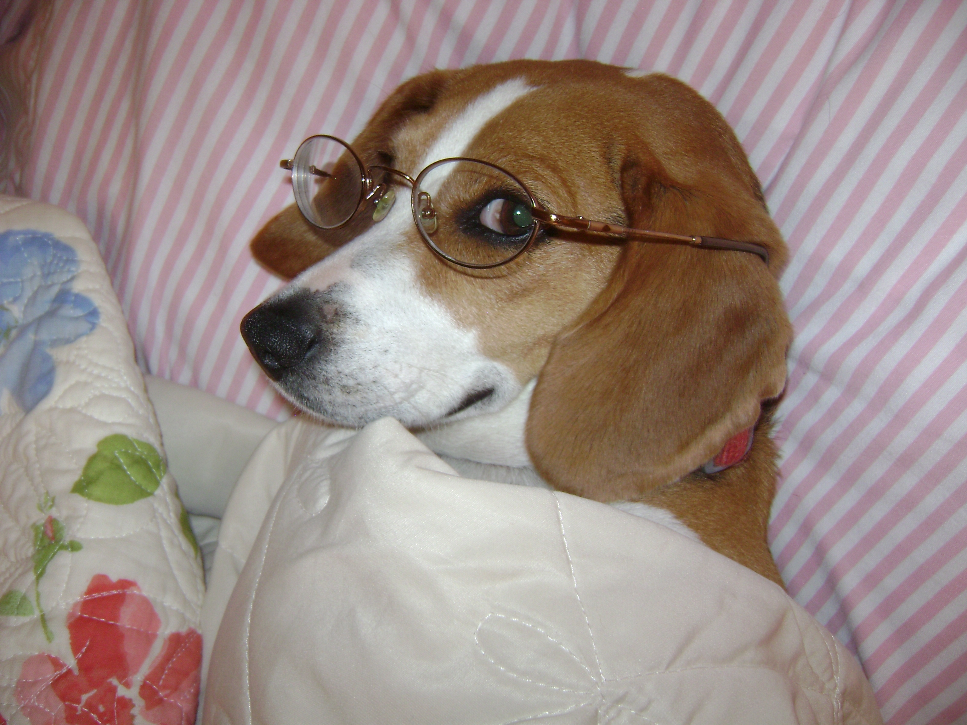Beagle Eye Care
