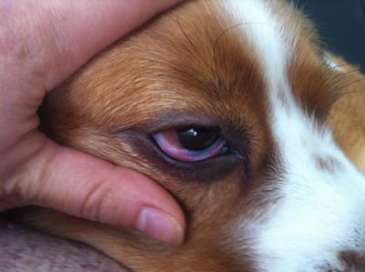 Beagle eye infection