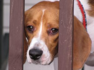 Beagle eye problems pictures