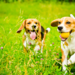 Beagle facts and pictures