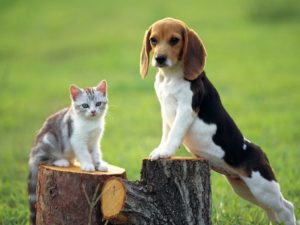 Beagle facts and tips